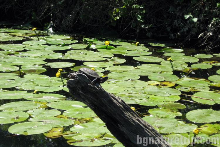 Велека костенурка-водна-Синеморец-разходка-лодка