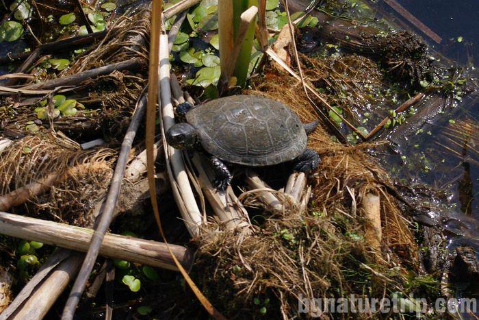 Велека-костенурка-каспийска-Синеморец-лодка-разходка