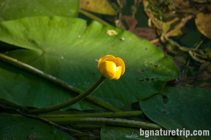 Жълта водна лилия - бърдуче (Nuphar- lutea)