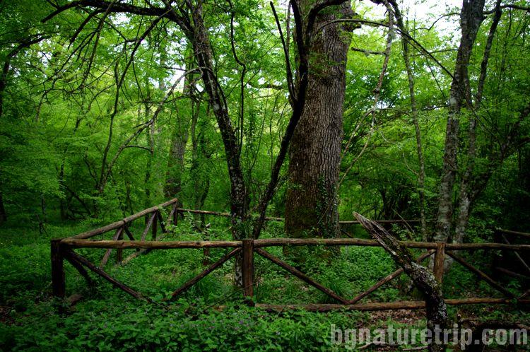 Еко-пътеки-дървета-благун-Граматиково-Странджа