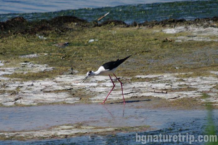 Кокилобегач-поморийско-езеро-Поморие-център-посетителски-наблюдение-птици1