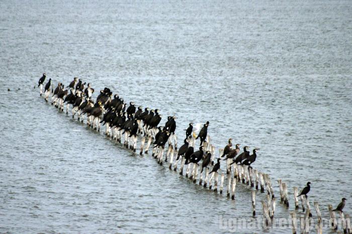 Корморан-малък-Поморие-езеро-център-посетителски