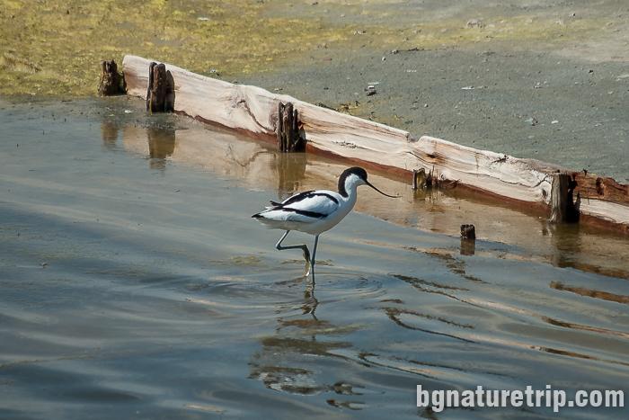 Саблеклюн при Поморийско езеро - птици