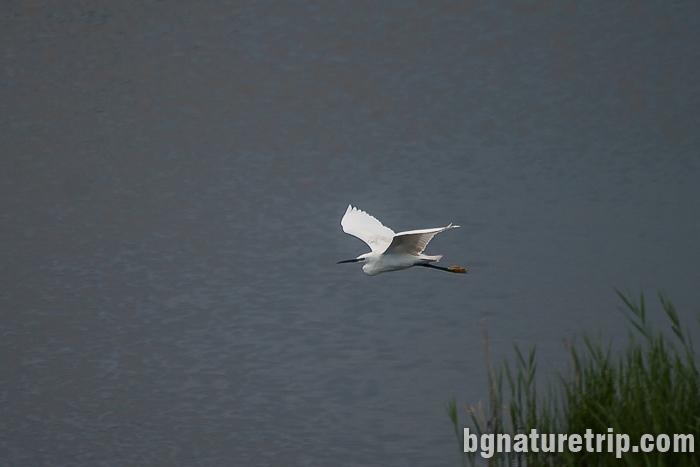 Малка бяла чапла при Поморийско езеро
