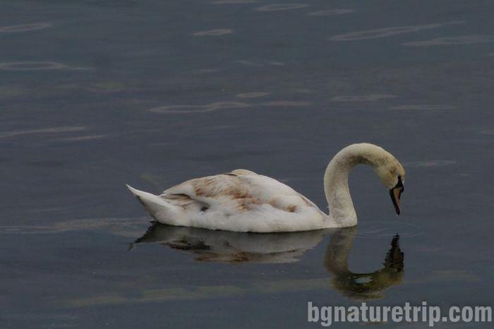 лебед-Поморие-езеро-поморийско-лебед-птици-център-посетителски-наблюдение