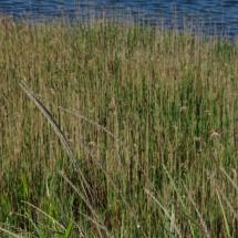 Пясъчна амофила ( Ammophila arenaria ).