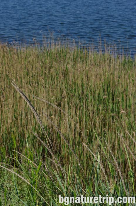 пясъчна-амофила-Ammophila-arenaria-Поморийско-езеро-коса-пясъчна-ивица