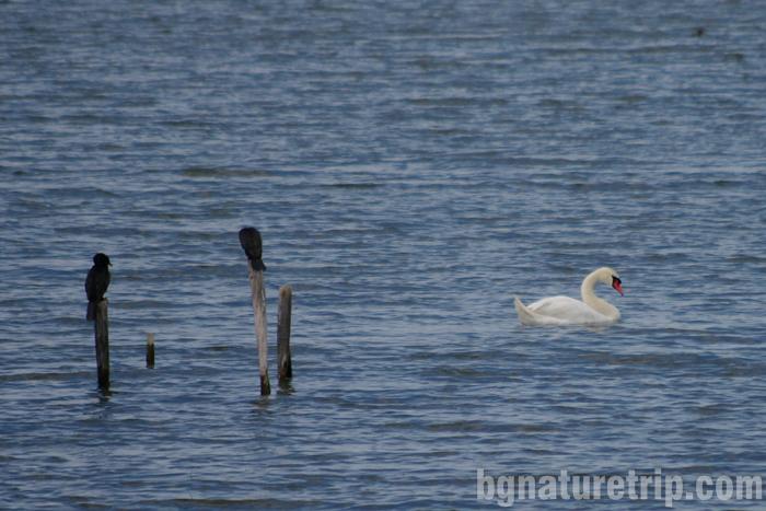 Бургас-Пода-Корморани-лебед-птици-наблюдение