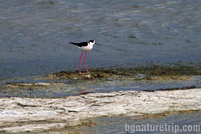 Бургас-Пода-кокилобегач-птици-наблюдение