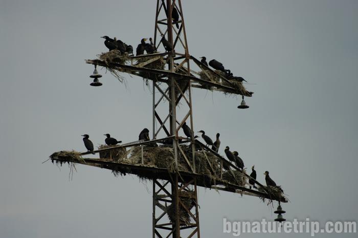 Бургас-Пода-корморани-гнездене-птици-наблюдение
