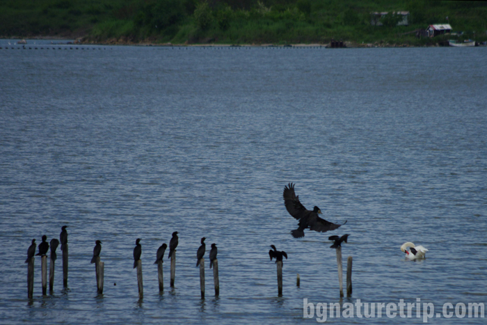 Бургас-Пода-корморан-птици-наблюдение