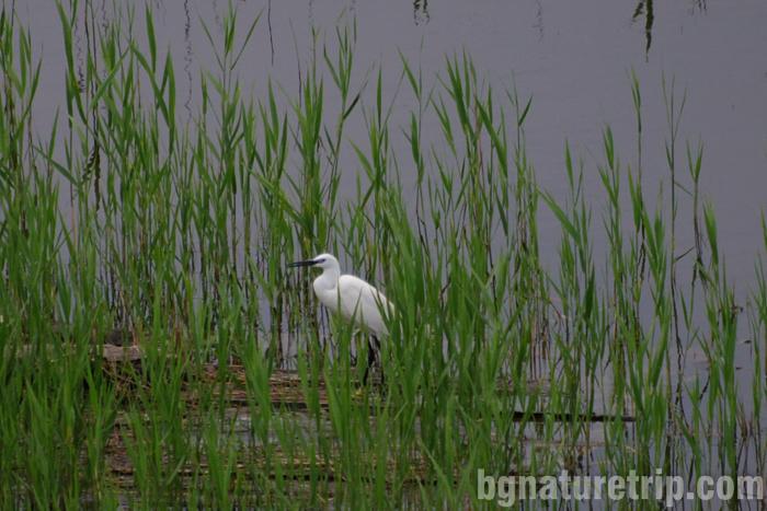 Бургас-Пода-чапла-бяла-малка-наблюдение-птици