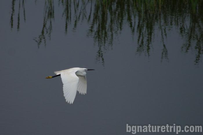 Бургас-Пода-чапла-бяла-малка-полет-наблюдение-птици