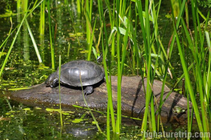 река-Ропотамо-разходка-лодка-костенурка-блатна-фауна-резерват-Приморско