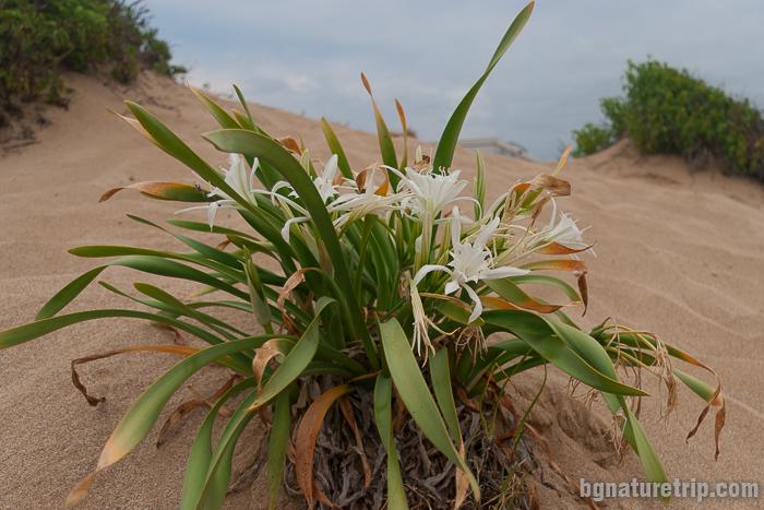 Пясъчна лилия - Pancratium maritimum
