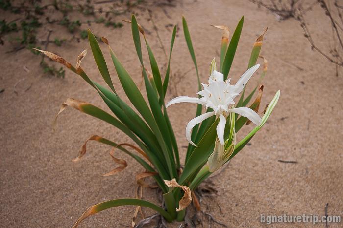 Пясъчна лилия – Pancratium maritimum