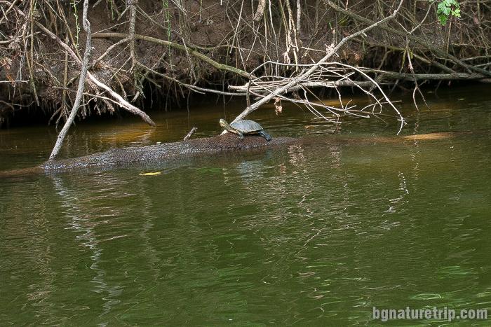 Каспийска блатна костенурка