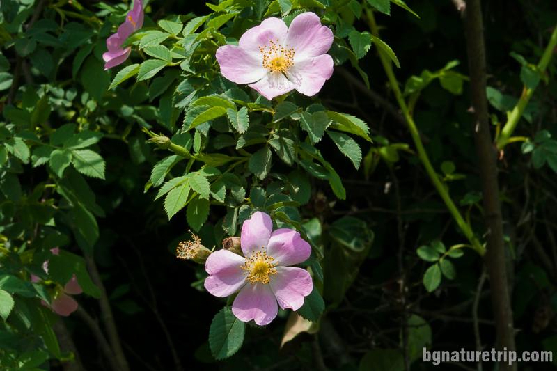 Дива роза (Rosa Blanda) край Кости