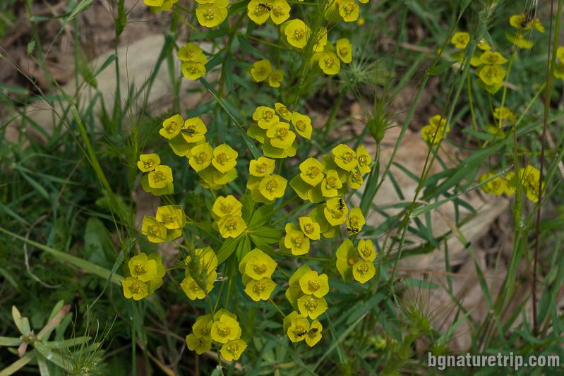 Oбикновен жълтак (helianthemum nummularium)