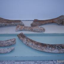 Кости на мамут от праисторически времена, намерени в морето