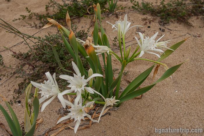 Пясъчна лилия - Pancratium maritimum край Созопол