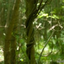 Лиана гърбач (periploca graeca) отблизо