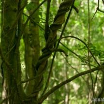 Лиана гърбач (periploca graeca)