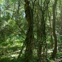 Лиана гърбач (periploca graeca) - отдалеч