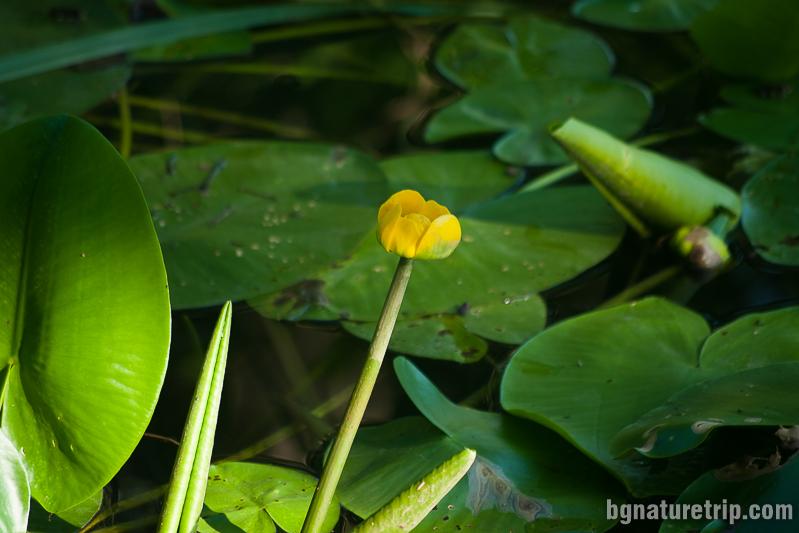 Жълтата водна лилия по река Велека - Синеморец