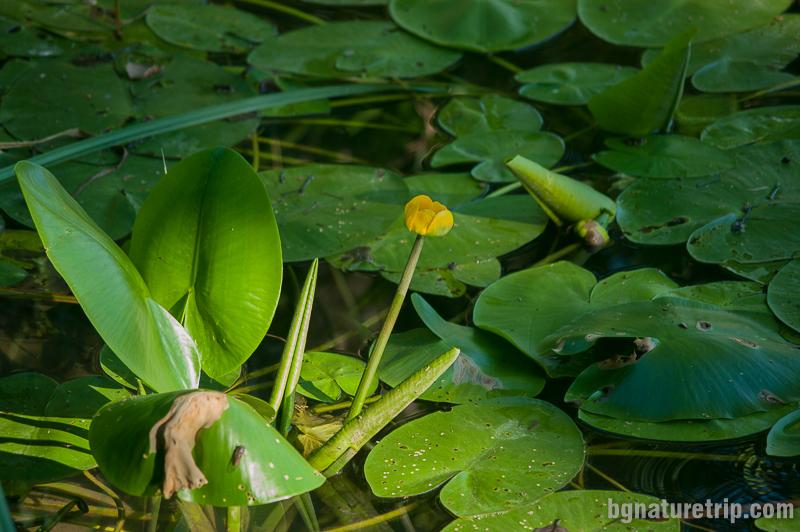 Жълта водна лилия бърдуче (Нuphar- lutea)