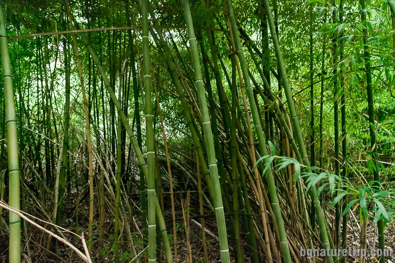 Индокитайски бамбук в местността Качул