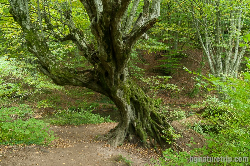 Вековното дърво отблизо