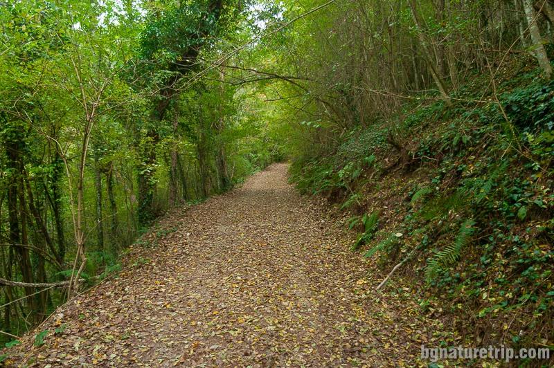 Пътеката към Индипасха - досущ като тропическа гора - с множество лиани, папрати и растението с големите листа - източен лопох