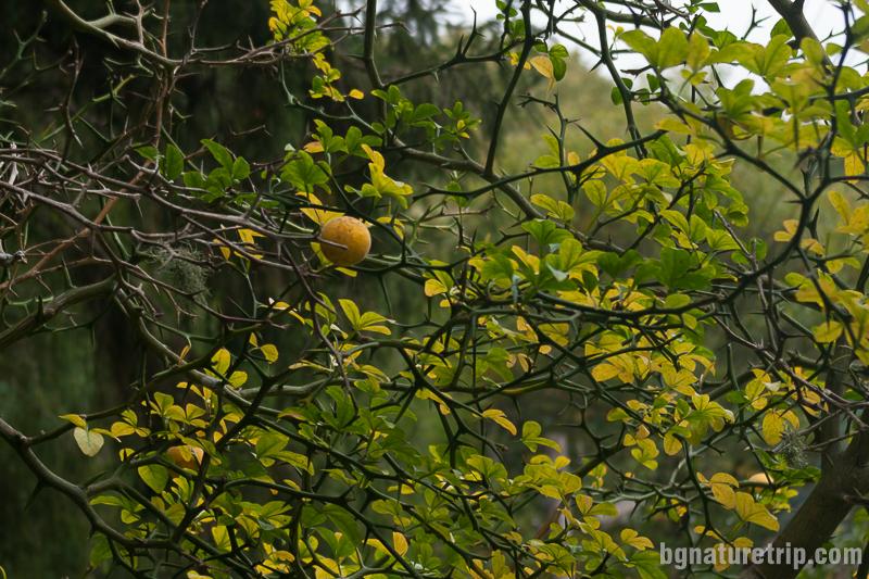 Див лимон в двора на ловния дом