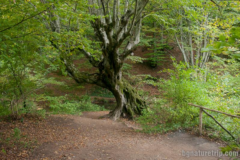 Вековното дърво край водопад Докузак