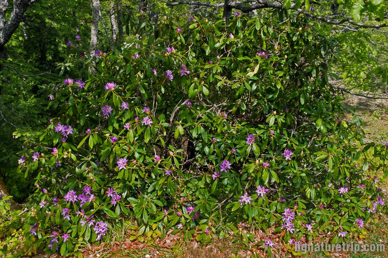 Храст Странджанска зеленика (Rhododendron ponticum) край Райков вир, Кости