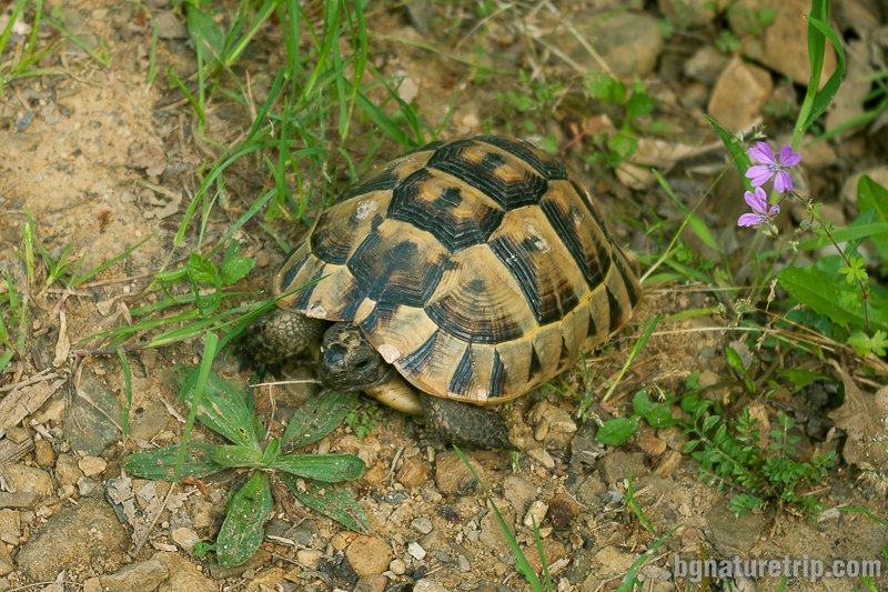 Шипобедрена костенурка ( testudo graeca)
