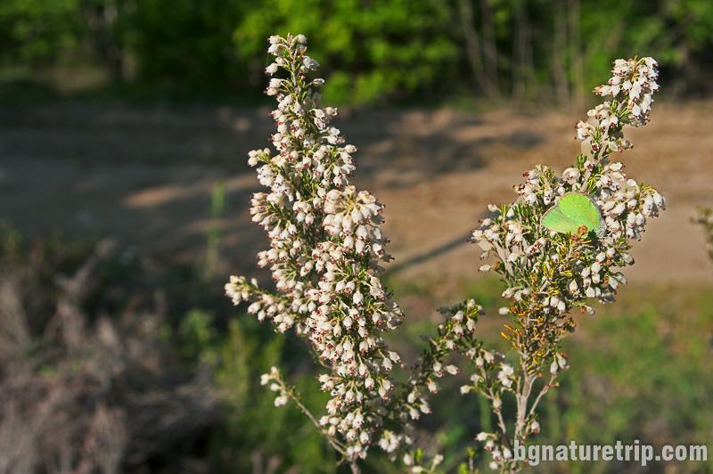 Пирен  (erica arborea). Рядък, защитен вид, забранен за късане