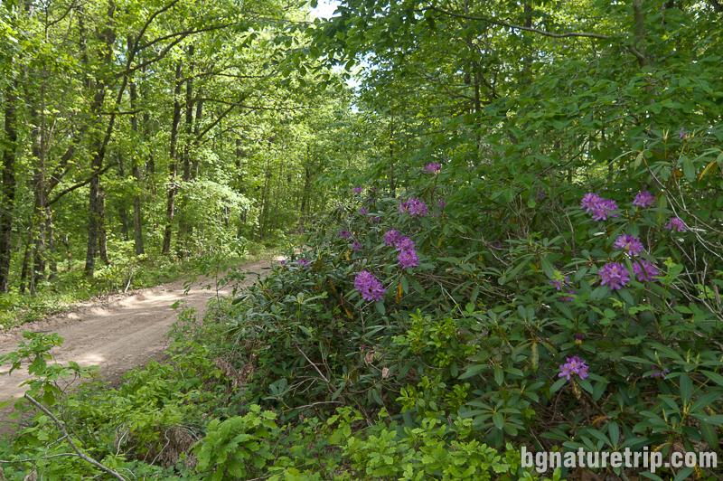 Храсти със странджанска зеленика в резерват Силкосия