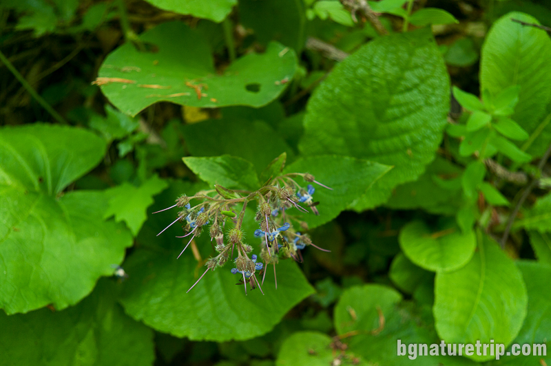 Източен лопох  (Trachystemon orientale) - разцъфнал през май месец