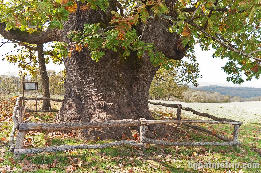 Най-старото живо дърво в Странджа - дъб благун на 970 години до Заберново