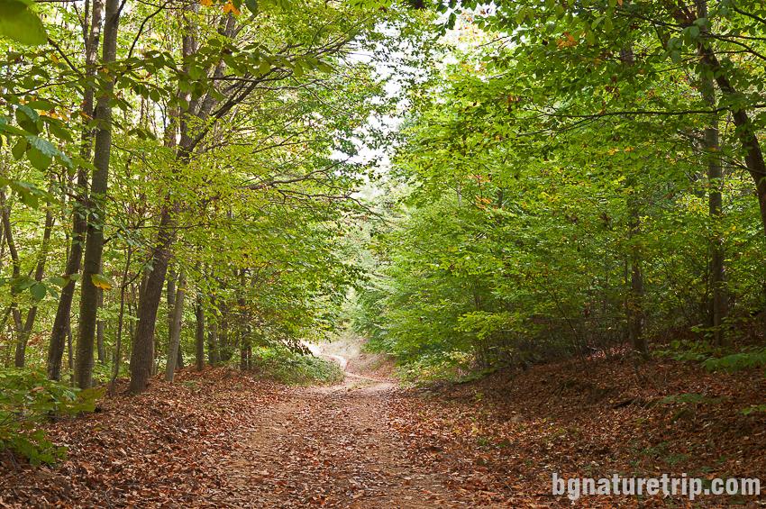 """Гъста широколистна гора по маршрута към параклиса """"Св. Петка"""""""