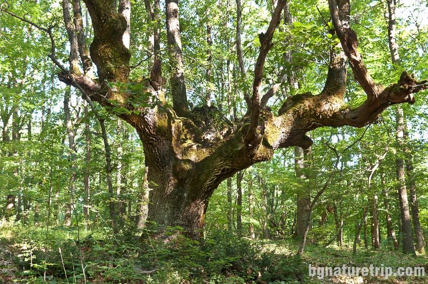 Бродилово - вековно дърво